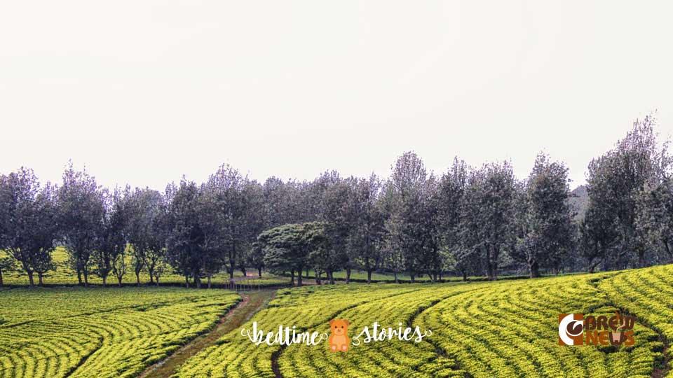 Ethiopian tea field image courtesy Rod Waddington at Flickr